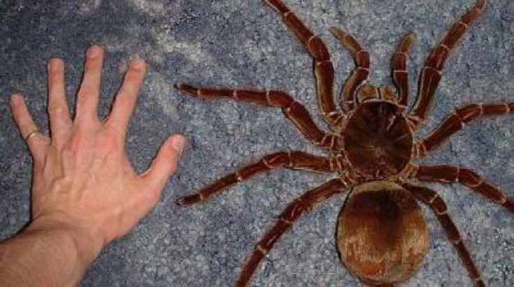 Araña goliat o araña gigante