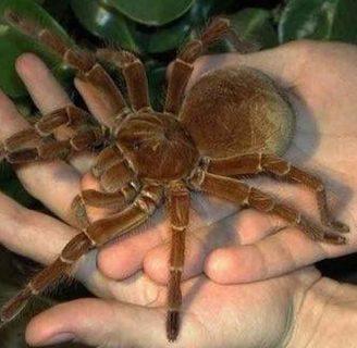 Araña Goliat o araña gigante: Conoce a este temible insecto.