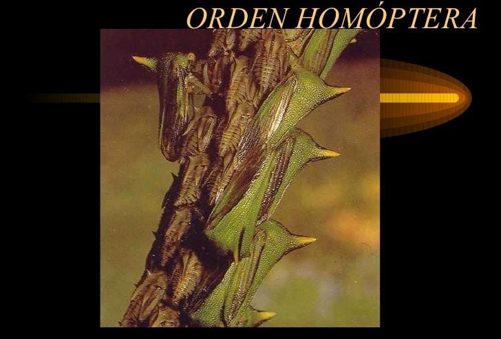 homóptera-3