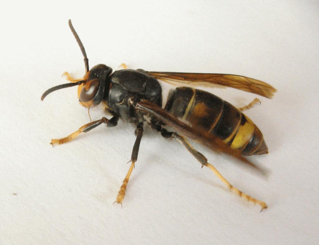 avispa1335