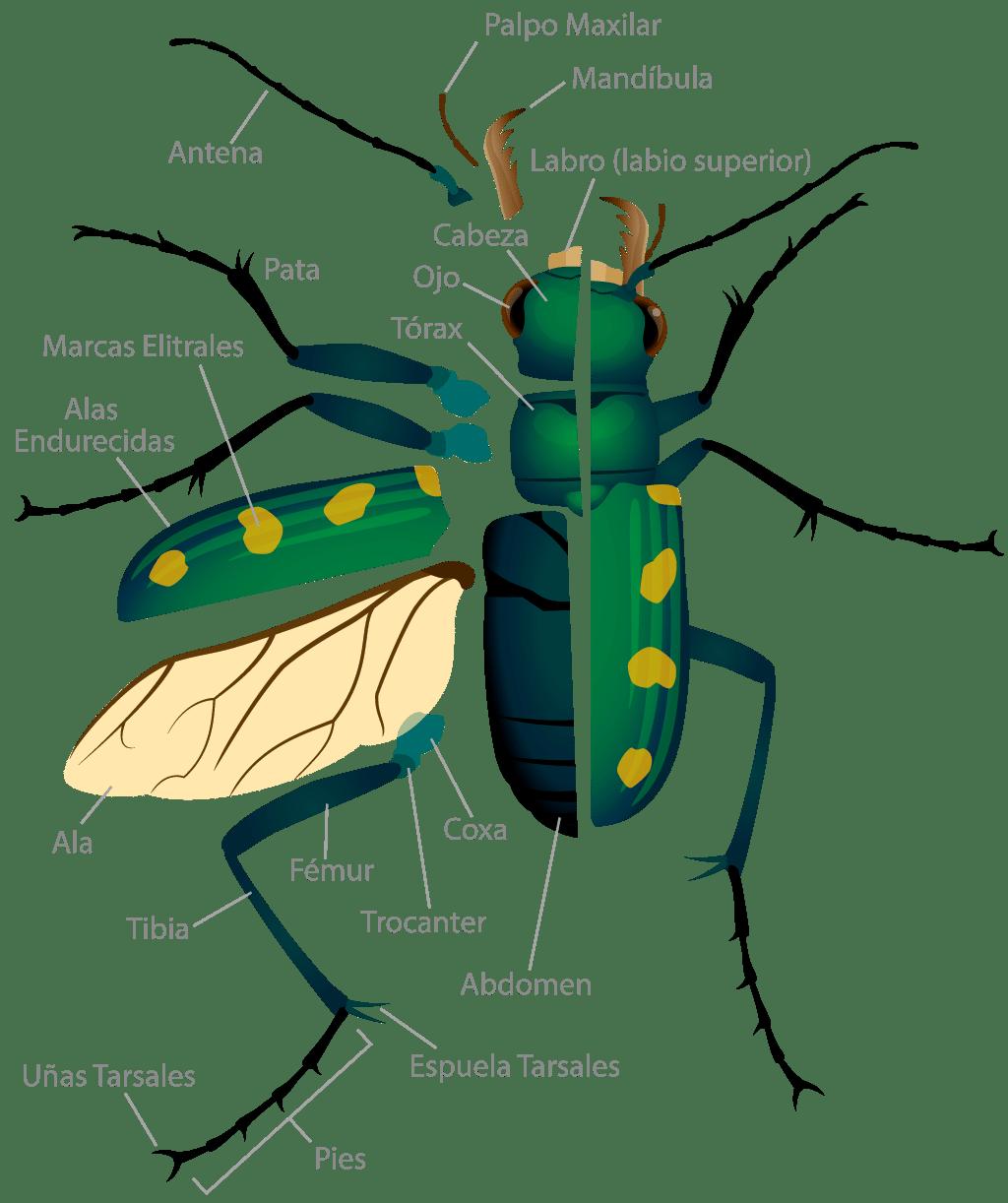 Hercules beetle larva - Animal Kid