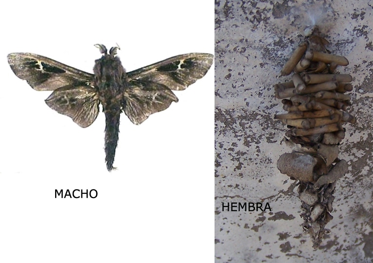 bicho-canasto-5