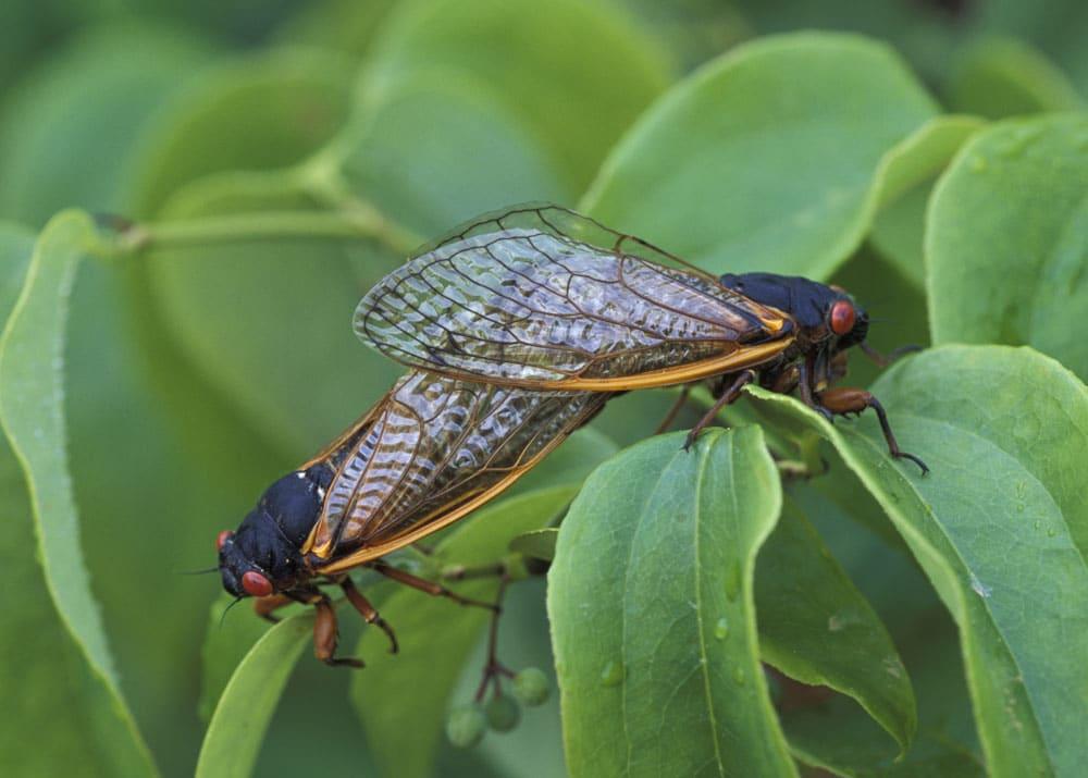homóptera-20
