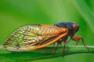 thysanoptera-14