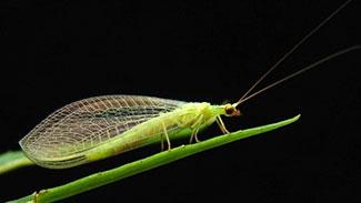 crisopa-o-chrysopidae-9