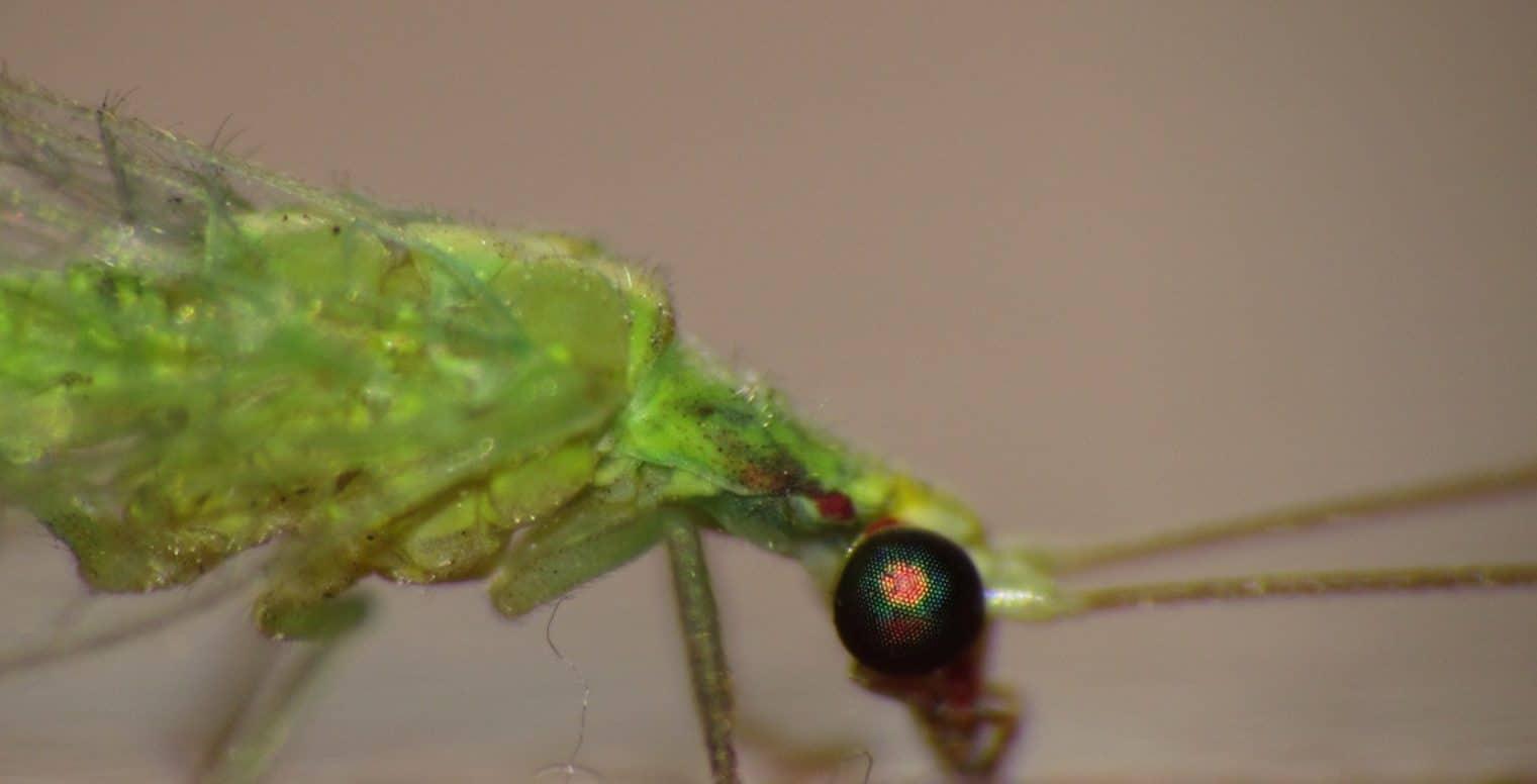 crisopa-o-chrysopidae-11