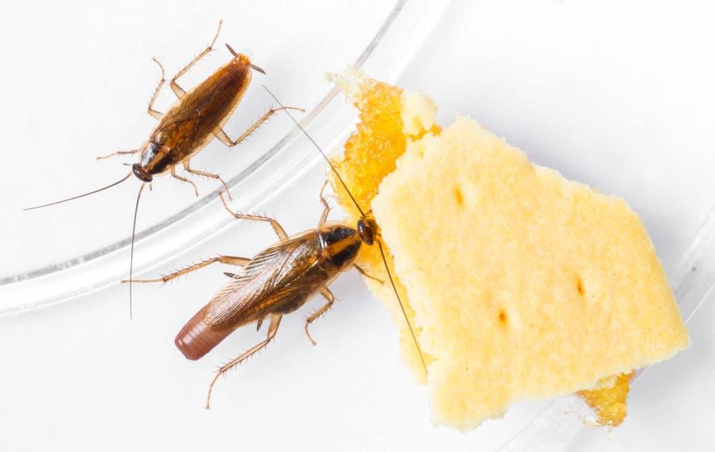 alimentación de la cucaracha alemana o rubia