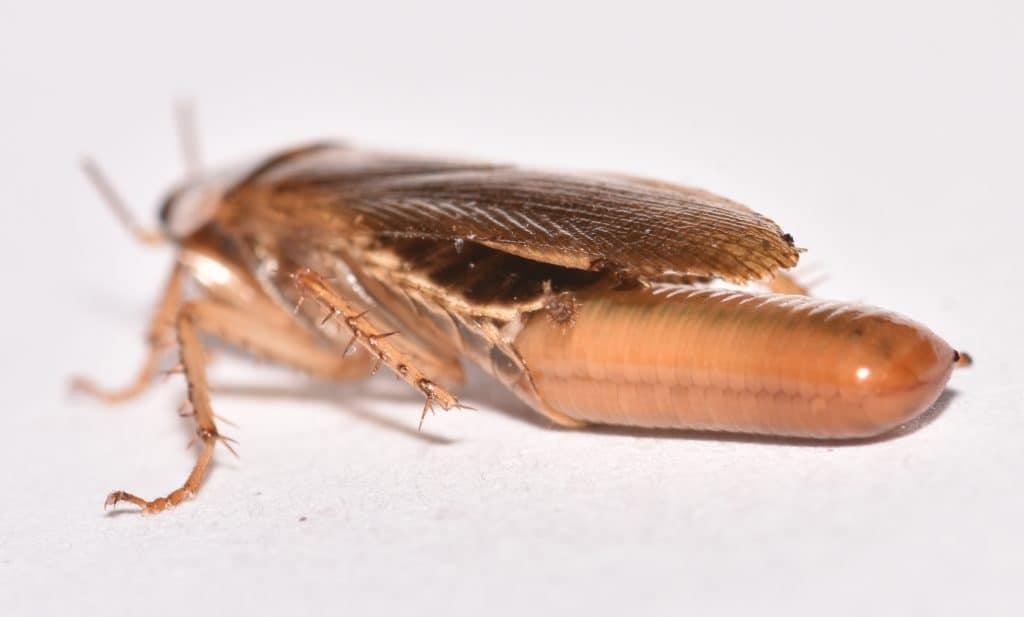 reproducción de la cucaracha alemana o rubia