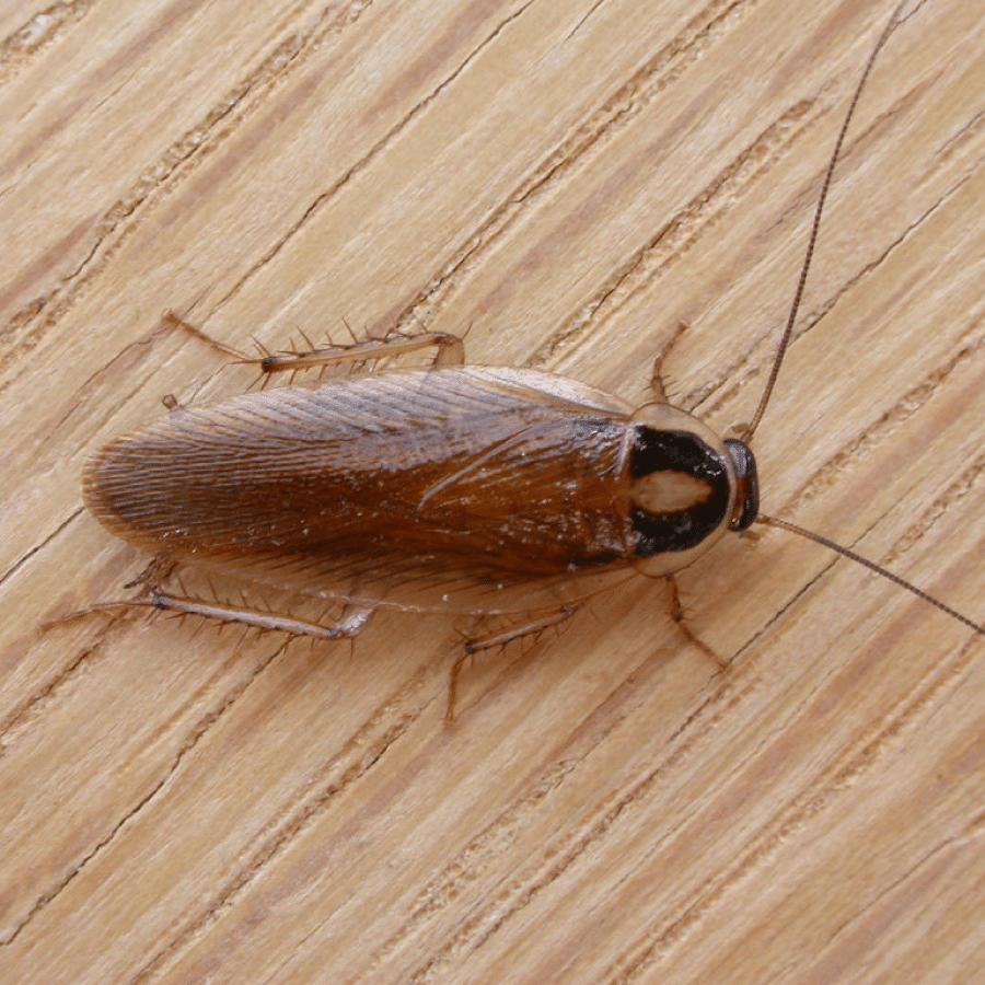 características de la cucaracha alemana o rubia