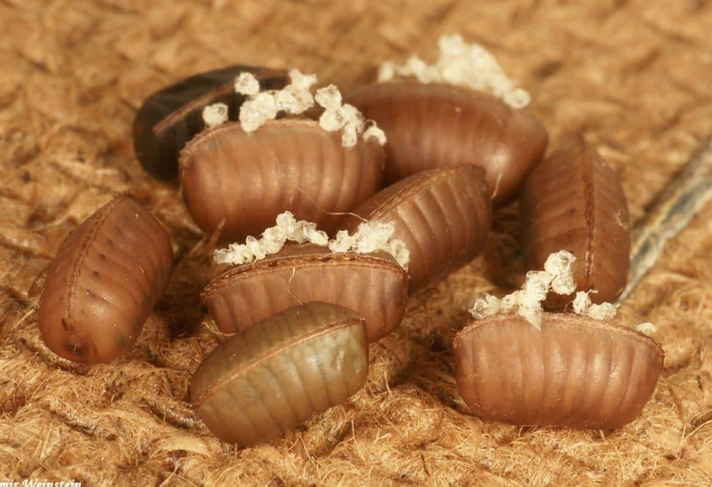 nido de cucaracha alemana o rubia