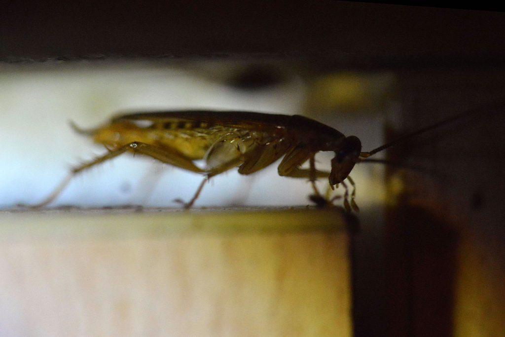 hábitat de la cucaracha alemana o rubia