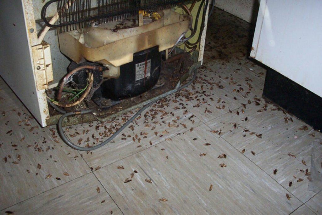 plaga de cucaracha alemana o rubia