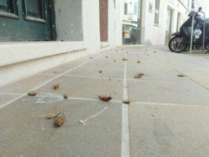 cucarachas alemanas muertas