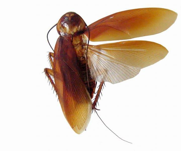Tipos-de-cucarachas29