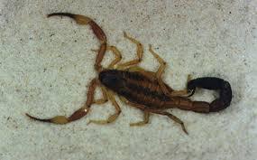 escorpión-o-alacrán-28