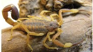 escorpión-o-alacrán-3