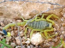 escorpión-o-alacrán-30
