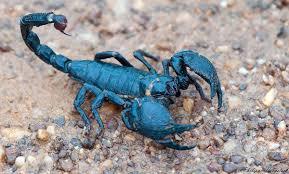 escorpión-o-alacrán-31