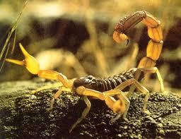 escorpión-o-alacrán-23