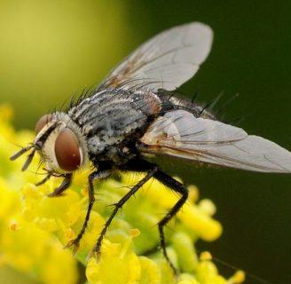 Díptera: Conoce todo sobre este orden de insectos.