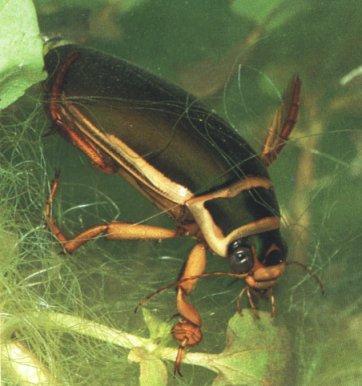 escarabajo acuatico