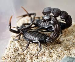 escorpión-o-alacrán-10
