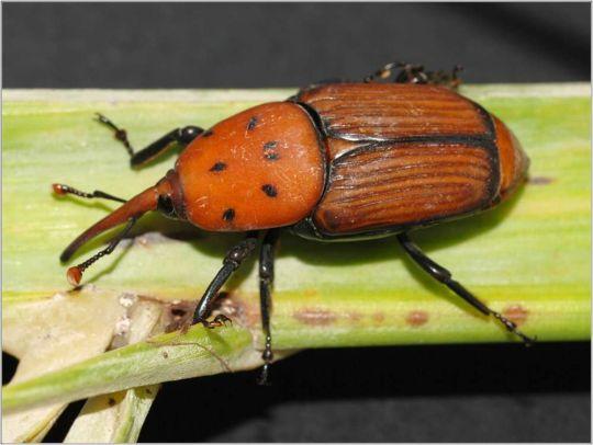 escarabjo picudo