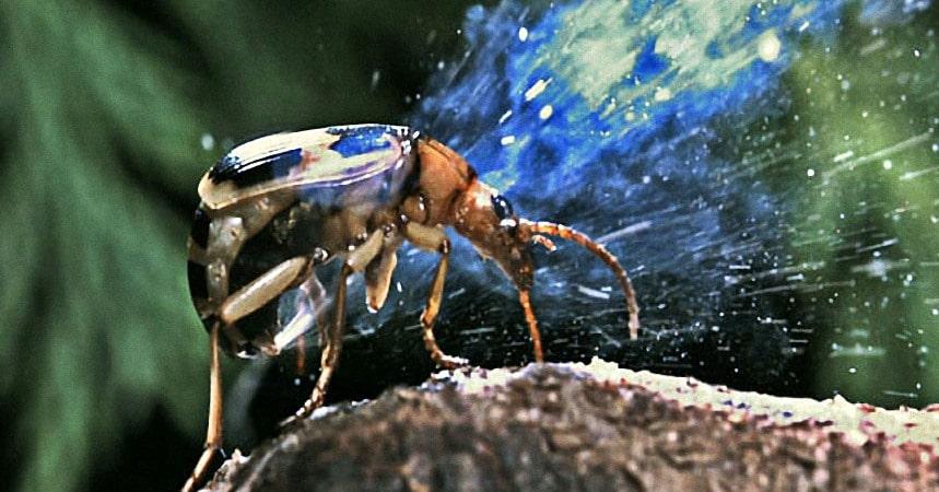 escarabajo-bombardero