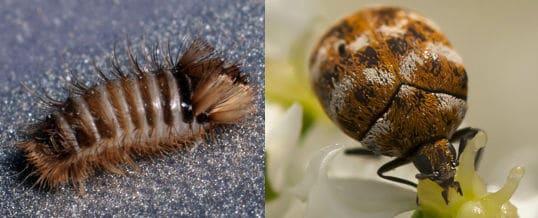 escarabajo-de-la-alfombra