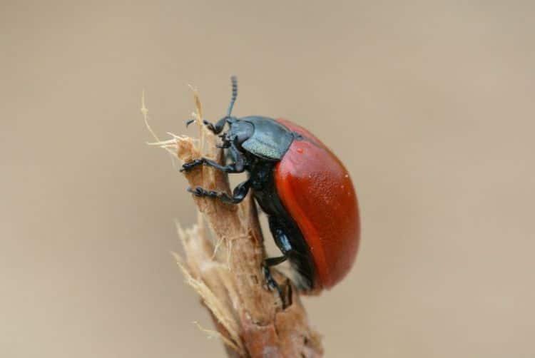 Escarabajos o Coleópteros