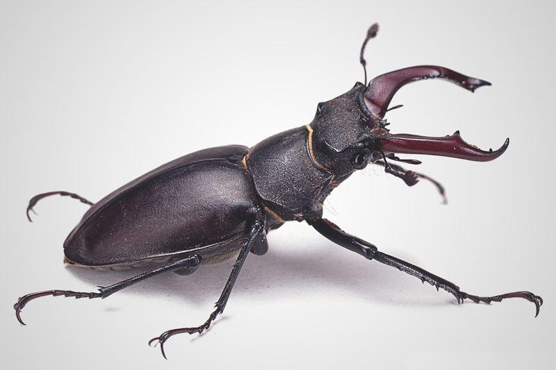 Escarabajos o Coleópteros: Características, alimentación, metamorfosis