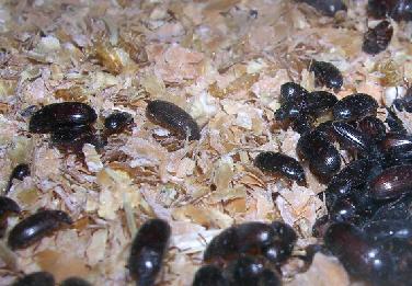 escarabajos-2
