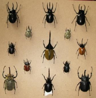 escarabajo o coleteros