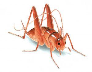 thysanoptera-22