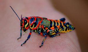 thysanoptera-23