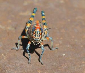thysanoptera-18