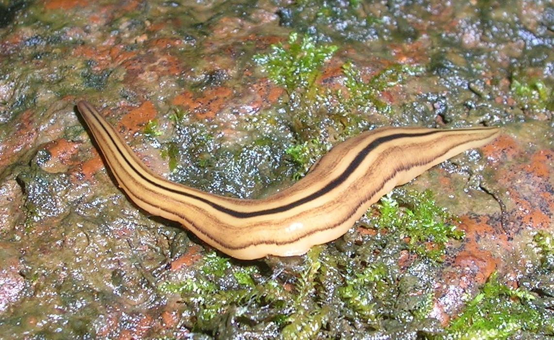 14 Best Planária images | Biology, Zoology, Fish anatomy - Gomba platyhelminthes gusanos planos
