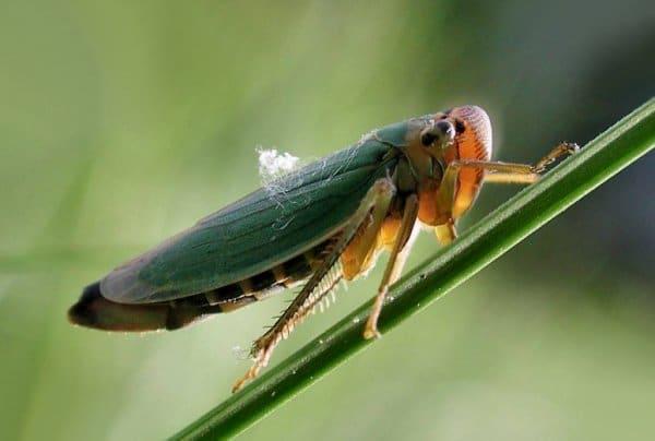 homóptera-1