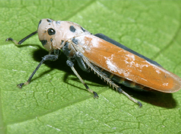 homóptera-8