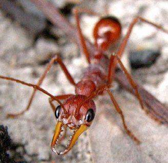 Hormiga: Características, hábitat, reproducción y mucho más