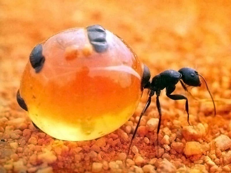 hormiga de miel