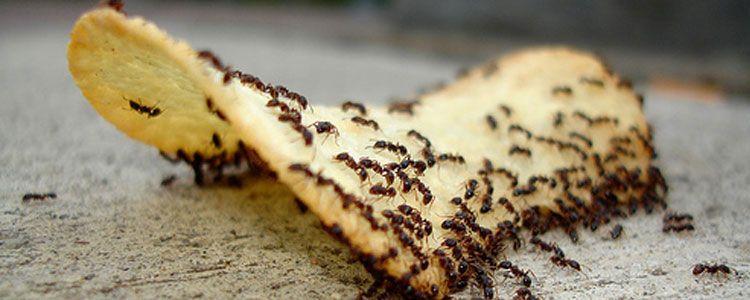 alimentación de las hormigas