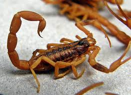 escorpión-o-alacrán-11