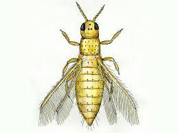 thysanoptera-11