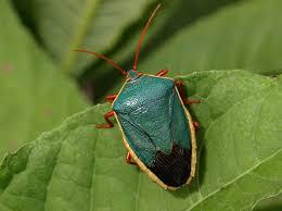 Hemiptera: Características y mucho más sobre esta especie