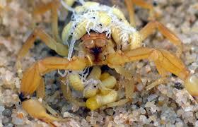 escorpión-o-alacrán-17