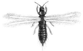 thysanoptera-15