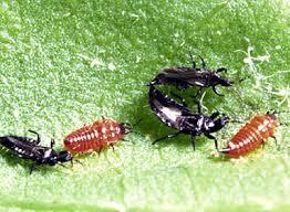 thysanoptera-28