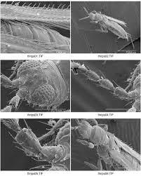 thysanoptera-26