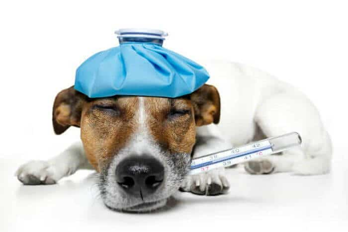 fiebre perro